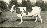 Pompey Pietertje Princess II, prized cow at Whatcom County Fair in Lynden, Washington