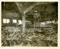 Thousands of fish piled on cannery floor in front of work table