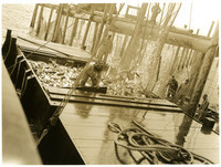 Several men work to brail salmon from fishtraps into holding scow