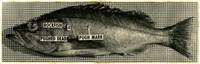 Rockfish