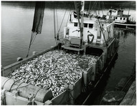 Delivering the salmon catch at a Pacific American Fisheries cannery in Alitak, Alaska