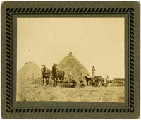 Oats harvesting scene with draft horses, workers, threshing equipment, and haystacks