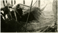 Workers brail a load of salmon out of a fishtrap