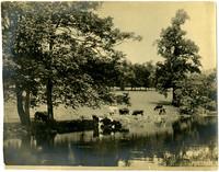 Milking cows graze at edge of stream