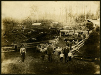 View from above of farmyard corrals placed among tree stumps, holding cattle and sheep, with several men and children in foreground, barns and cabin in background