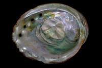 Haliotis rufescens