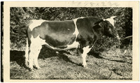 Side view of Jersey bull