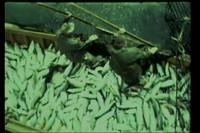 Tikka (Rubin) film footage of Clam Gulch, Alaska [avi file with title slides]