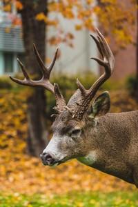 Deer On Campus At Western Washington University
