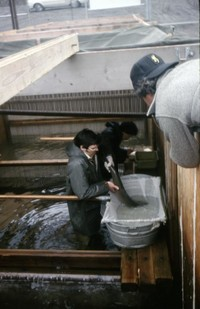 Game Department employees with steelhead taken in South Fork Toutle River fish trap for spawning purposes.  Bill Eppridge, Sports Illustrated photographer, in foreground.