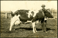 Man displays Holstein cow with thick collar and large bell