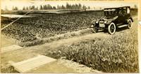 Government Bulb Farm