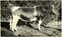 Side view of prized bull