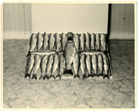 Twenty seven salmon displayed with one large salmon in the middle