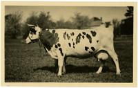 Side view of Holstein cow with horns.