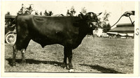 Side view of young Jersey or Guernsey bull with small horns