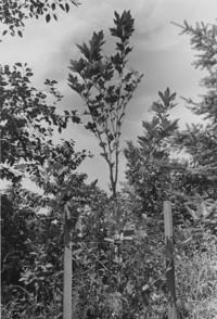 1972 Historic Tree