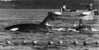 Penn Cove Whale Capture