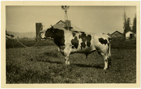 Side view of large Jersey bull on chain lead with farm in background