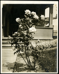 Close up of a rose bush along the walkway in front of a house