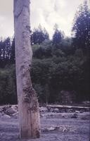 Remains of tree abraded by mudflow, North Fork of Toutle River.
