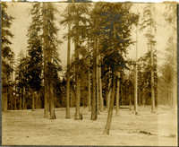 A man stands at base of tree in grove of tall evergreens